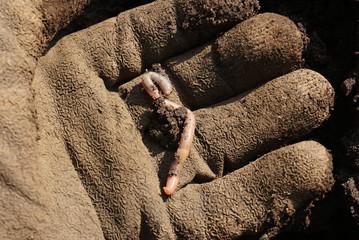An earthworm in hands of man.