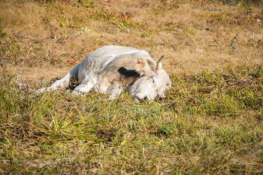 Young bull sleeps in the meadow. Young bull lies in the meadow. Bull resting on the mountain pasture
