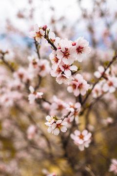 branch of a flowering tree macro and defocusing