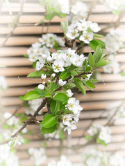 Blossoms pear tree Spring flowers nature background