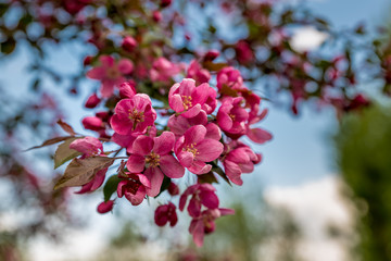 Flowering fruit trees in the Park. Catherine park. Moscow. Russia.