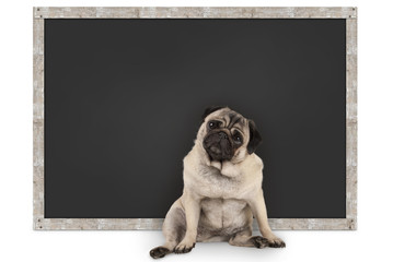 smart funny pug puppy dog sitting in front of blank blackboard, isolated on white background