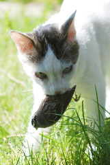 Black and white kitty with a bird in its mouth while kitty cat plays with bird in the grass trying to impress his human.