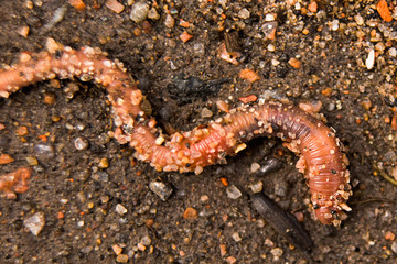 Earthworm in the sand macro, soft focus