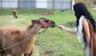 woman feeds camel. camel eating from hands of pretty girl with long curly brunette hair outdoor. animals and ecology. african fauna in zoo park or wildlife.