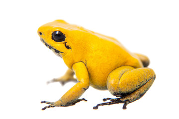 Foto op Aluminium Kikker The golden poison frog