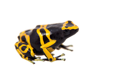 The bumblebee poison dart frog on white