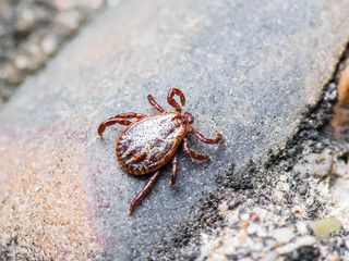 Encephalitis Virus or Lyme Disease Infected Tick Arachnid Insect Pest Crawling on Ground