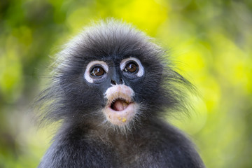 Wild Dusky leaf monkey in south of Thailand