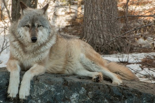 The International Wolf Center in Ely, Minnesota houses several Great Wolves
