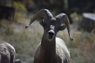 Big Horn Sheep, wildlife, mammals, Yellowstone, Grand Teton, National Park, America, USA, nature