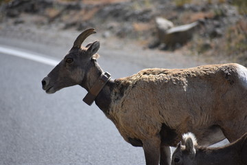 Big Horn Sheep, wildlife, mammals, Yellowstone, Grand Teton, National Park, America, USA, nature