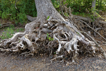 Exposed tree roots on the riverbank