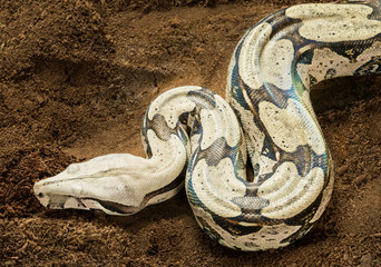 Close up of Boa constrictor constrictor – Surinam Guyana – female