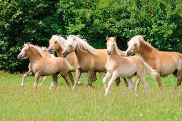 Haflinger horses, mares with foals running across a meadow