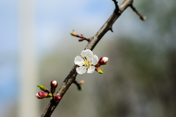 Branch of the blossoming apricot tree