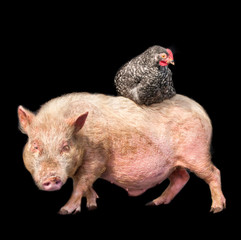 Chicken sitting on the back of a pig against a black background.