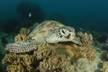 Green Sea Turtle resting on coral reef
