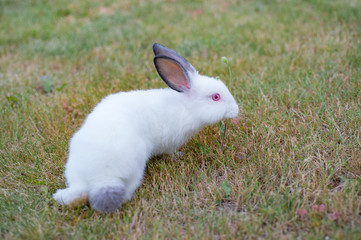 Cute white little rabbit with gray hears, walks on green grass