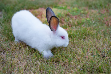 Fluffy white little rabbit with red eyes and gray ears, on green grass