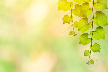 foliage hanging on blur green nature background with space for text