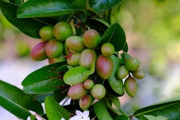 Bengal Currant or Karanda, Carunda ,Fruit is healthy.