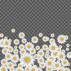 Spring background with falling chamomile on transparent background. Vector.