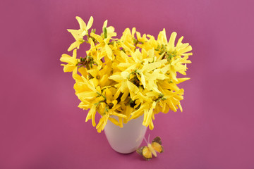 Forsythia stock images. Yellow bouquet on purple background. Spring floral decoration. Spring background concept