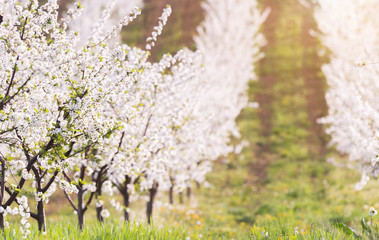 Blooming apple orchard field