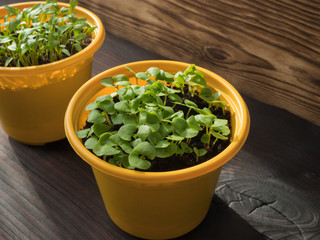 It's spring.Small plants grow in a yellow plastic pot.Spring planting. Early seedlings