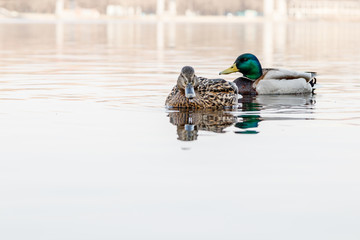 beautiful couple of duck and drake sail on the river