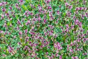 Plantas con flores de Ortiga Muerta. Lamium amplexicaule.