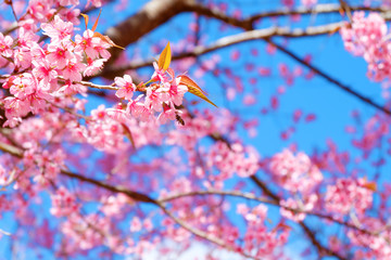 Beautiful cherry blossom, pink sakura flower with blue sky in spring. Soft focus