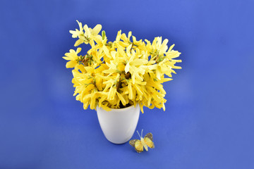 Forsythia stock images. Yellow bouquet on blue background. Spring floral decoration. Spring background concept