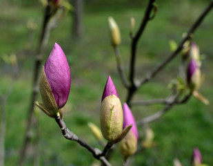 The large buds of pink magnolia (Magnolia liliiflora) on bare branches of a tree. selective focus.  sunny spring day.