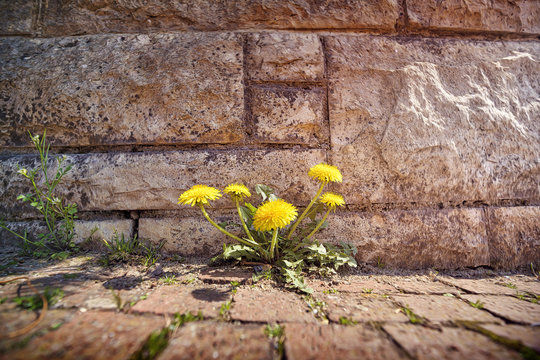 springtime, dandelions growing through stones