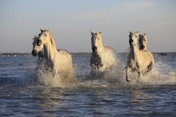 chevaux sauvages,Camargue,galop,troupeau,blanc,liberté,puissance,énergie,viril,eau,