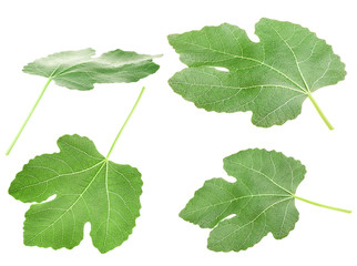 Fig leaf is isolated on the white background