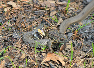 hungry grass-snake caught a frog