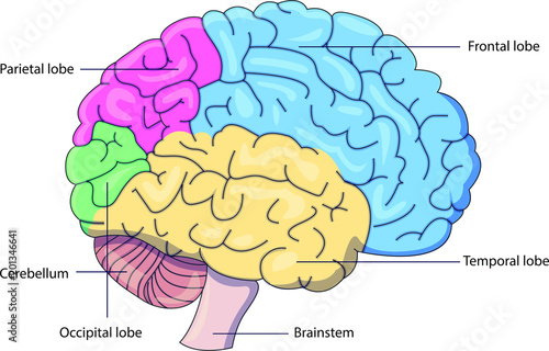 """""""Schematic vector diagram of a brain with labeled parts ..."""