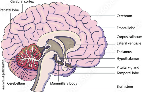 Schematic Vector Diagram Of A Brain With Labeled Parts Stock Image