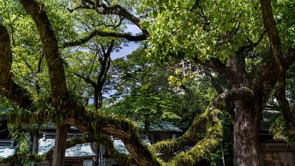 grand arbre recouvert de mousses et végétations dans un sanctuaire shintoïste au Japon