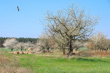 Obstabaum, Baumblüte, Storch, Kirschbaumplantage