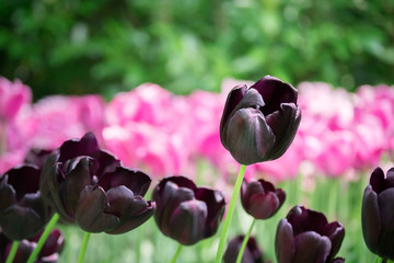 Beautiful dark purple tulips in the field