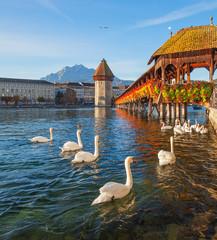 Swans at the famous Chapel Bridge in Lucerne, Switzerland