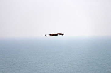 The eagle or bird hovers over the sea. Freedom, flight and space