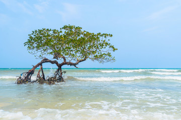 Tree in Paradise, Mangrove hanging over a beach. Caribbean, Cayo Sombrero,