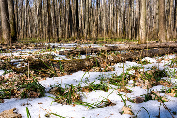 Melting snow in the spring in the forest.