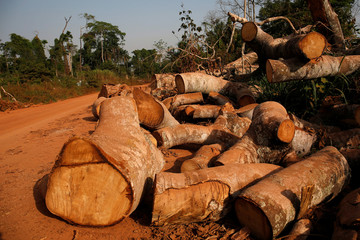Freshly cut tree stumps are pictured near Kahin village at the edge of Scio forest reserve in Duekoue