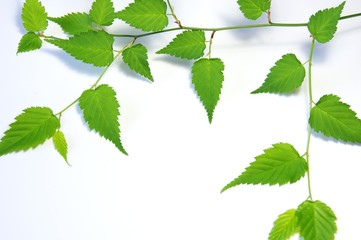 キイチゴの葉 新緑
